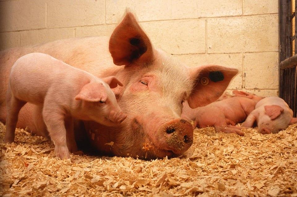 Criação de Porcos é Lucrativa? Guia Manejo de Suínos
